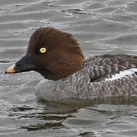 Common Goldeneye COGO female