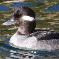 Bufflehead female BUFF