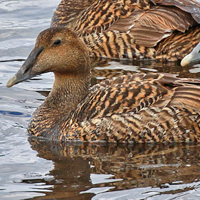 Common Eider COEI female
