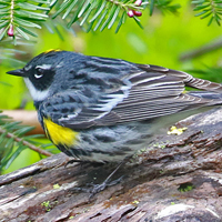 Yellow-rumped Warbler YRWA Myrtle Male