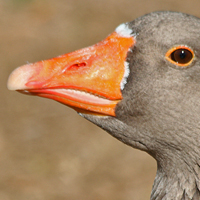 Greylag Goose Domestic