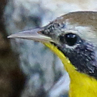 Common Yellowthroat COYE