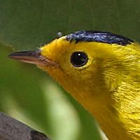 Wilson's Warbler WIWA male