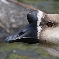 African Goose Domestic