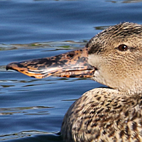 Norther Shoveler NSHO female