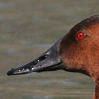 Canvasback CANV male