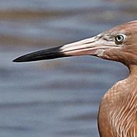 Reddish Egret REEG