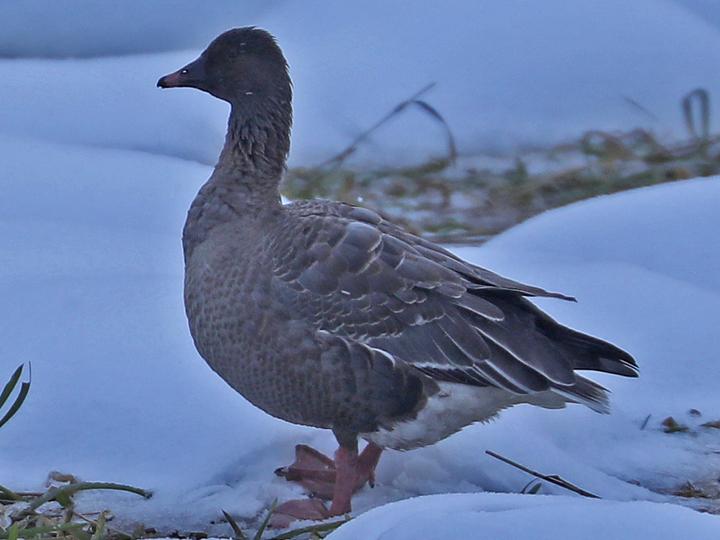 Pink-footed Goose PFGO