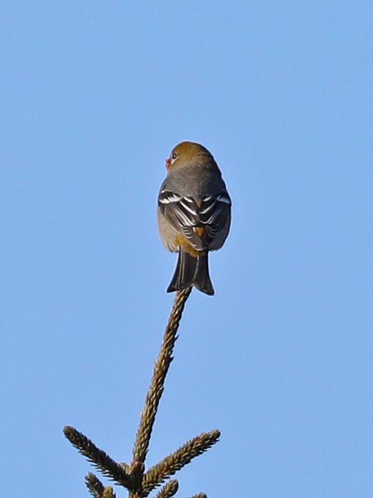 Pine Grosbeak PIGR