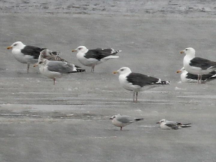 Black-headed Gull BHGU