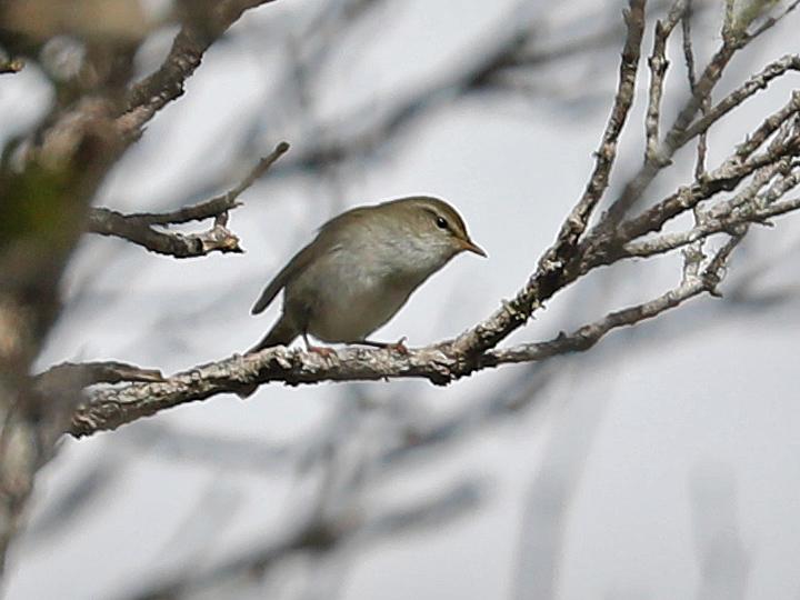 Japanese Bush Warbler JBWA