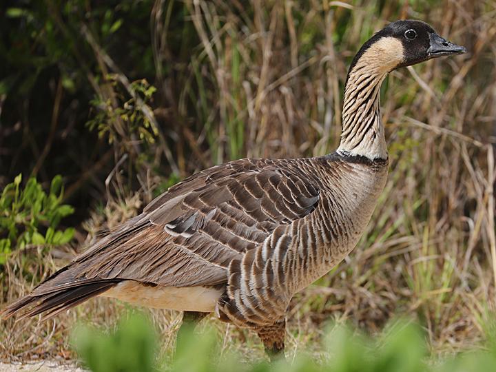 Hawaii Goose HAGO