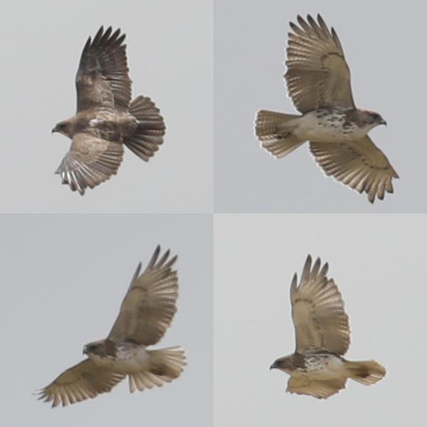 Hawaiian Hawk HAWH