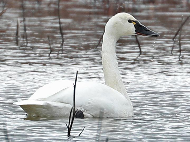 Tundra Swan TUSW