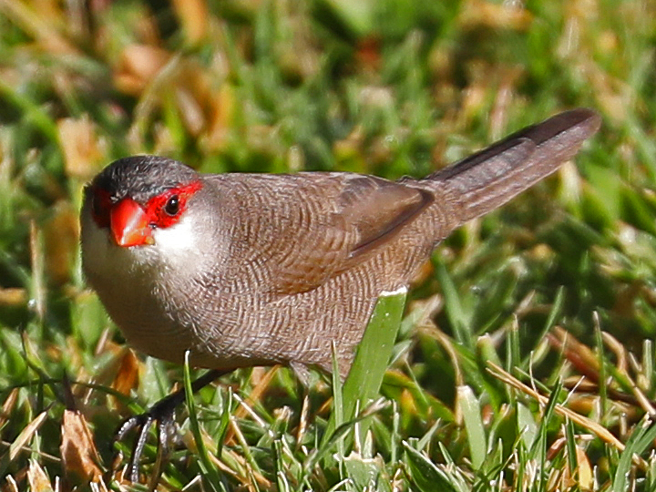 Common Waxbill COMW