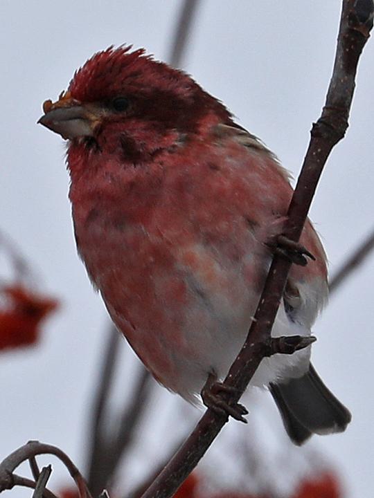 Purple Finch PUFI
