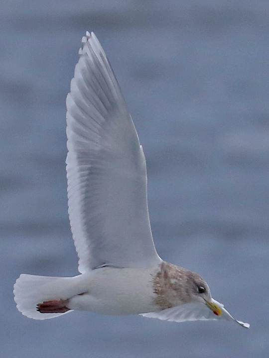 Iceland Gull ICGU