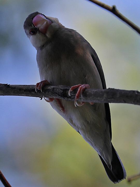 Java Sparrow JASP