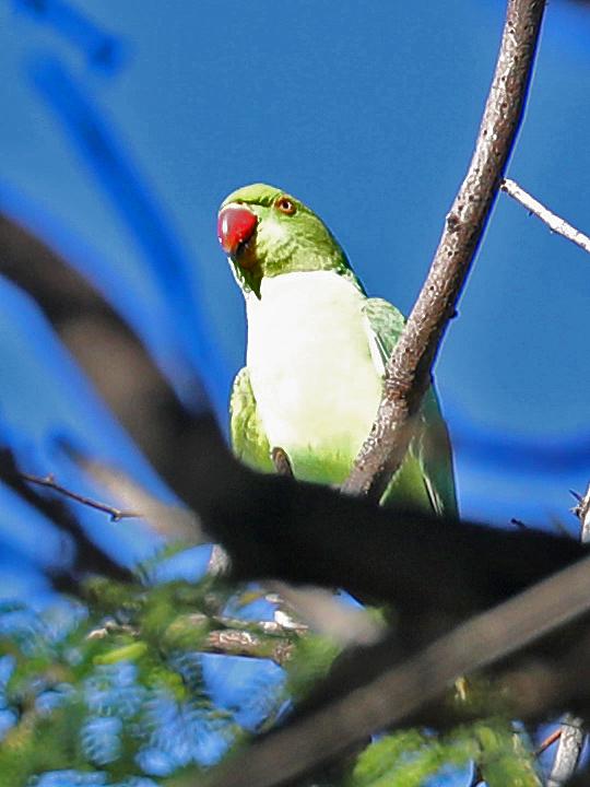 Rose-ringed Parakeet RRPA