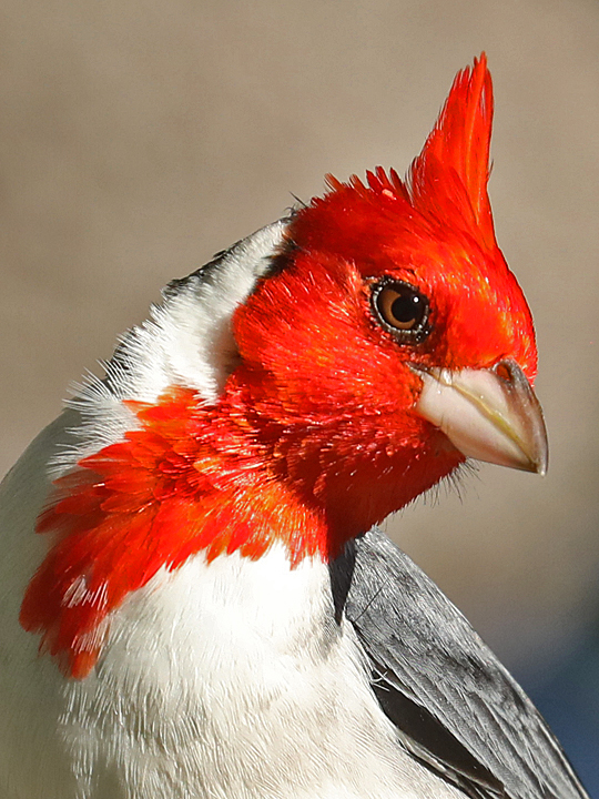 Red-crested Cardinal RCCA