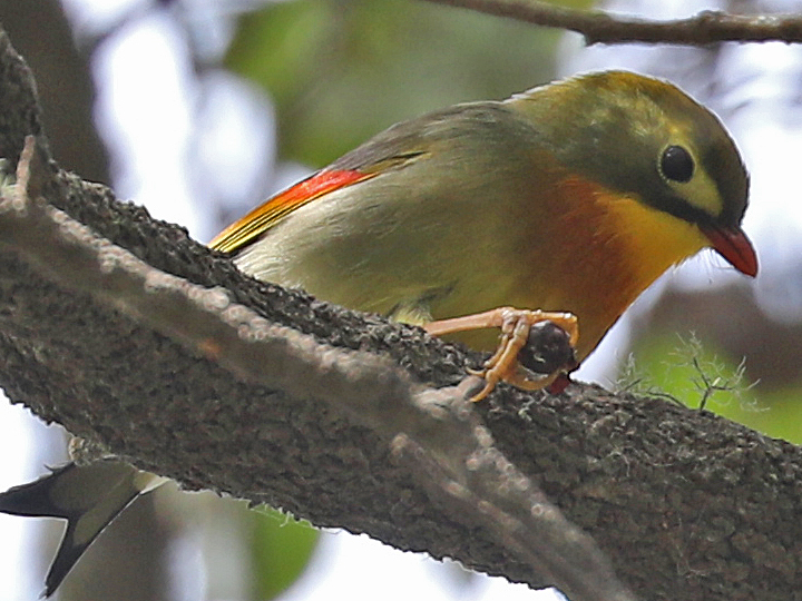 Red-billed Leiothrix RBLE