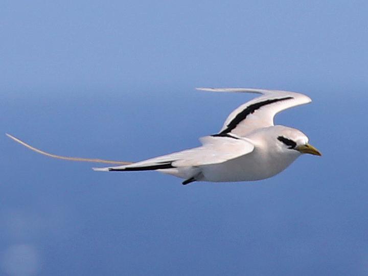 White-tailed Tropicbird WTTR