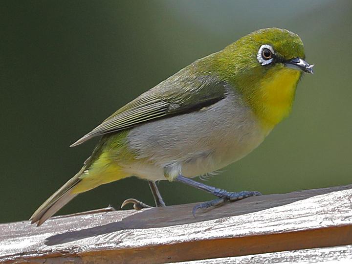 Warbling White-eye WAWE