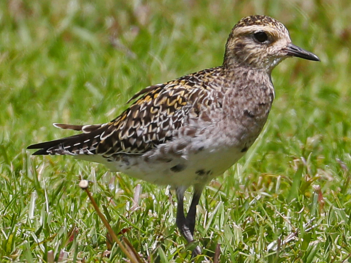 Pacific Golden-Plover PAGP