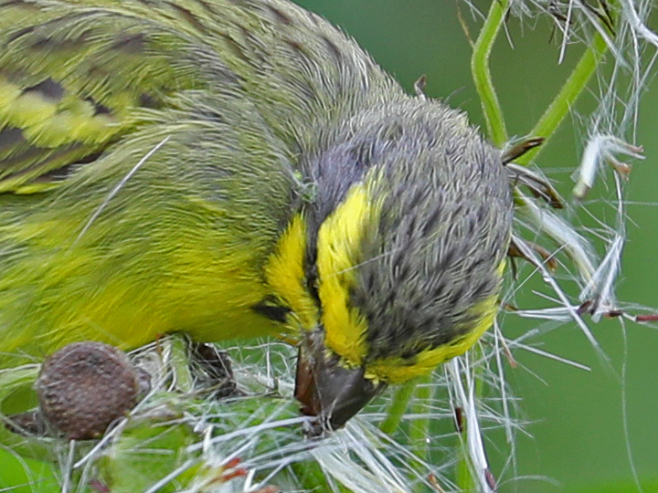 Yellow-fronted Canary YFCA