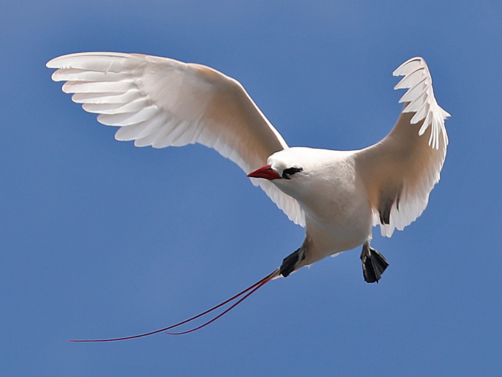 Red-tailed Tropicbird RTTR
