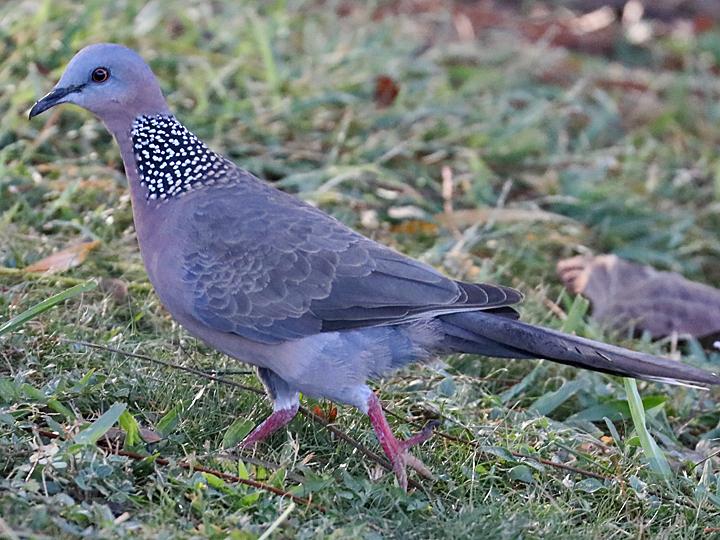 Spotted Dove SPDO