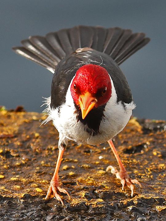 Yellow-billed Cardinal YBCA