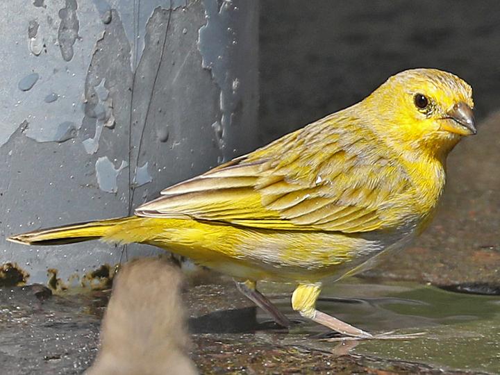 Saffron Finch SAFI