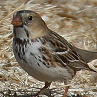Harris's Sparrow HASP