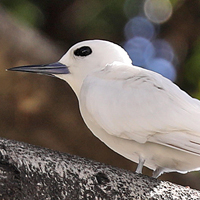White Tern WHTT