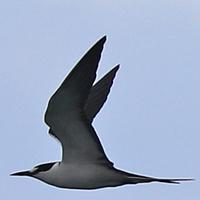 Sooty Tern SOTE