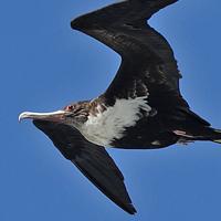 Great Frigatebird GREF